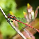 Large Red Damselfly (Pyrrhosoma nymphula) by Steve Chilton