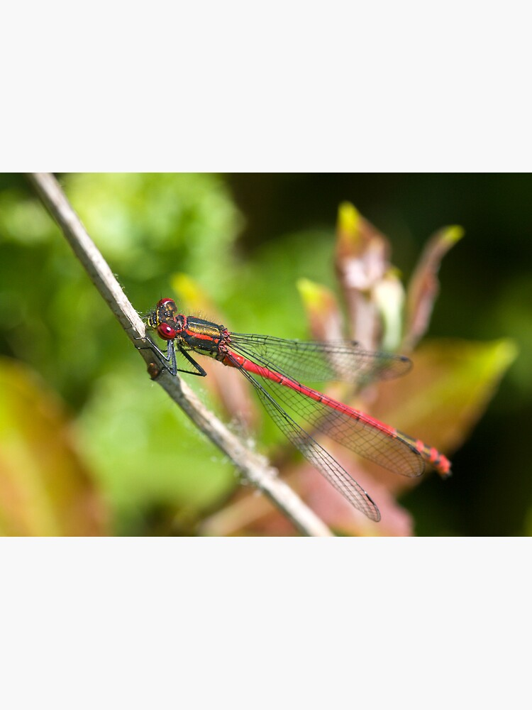 Large Red Damselfly (Pyrrhosoma nymphula) by SteveChilton