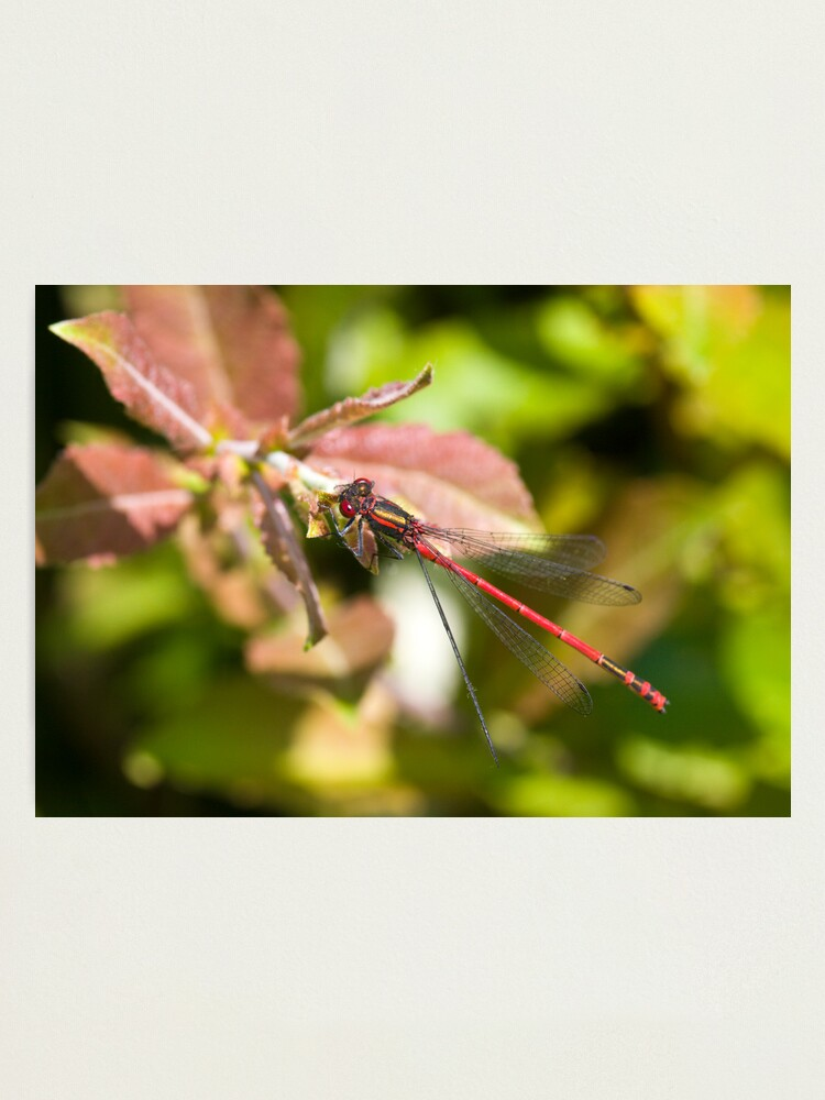Alternate view of Large Red Damselfly (Pyrrhosoma nymphula) Photographic Print