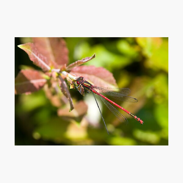 Large Red Damselfly (Pyrrhosoma nymphula) Photographic Print