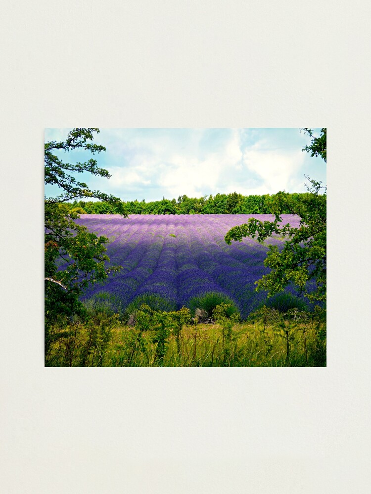 Alternate view of Summertime Lavender Photographic Print
