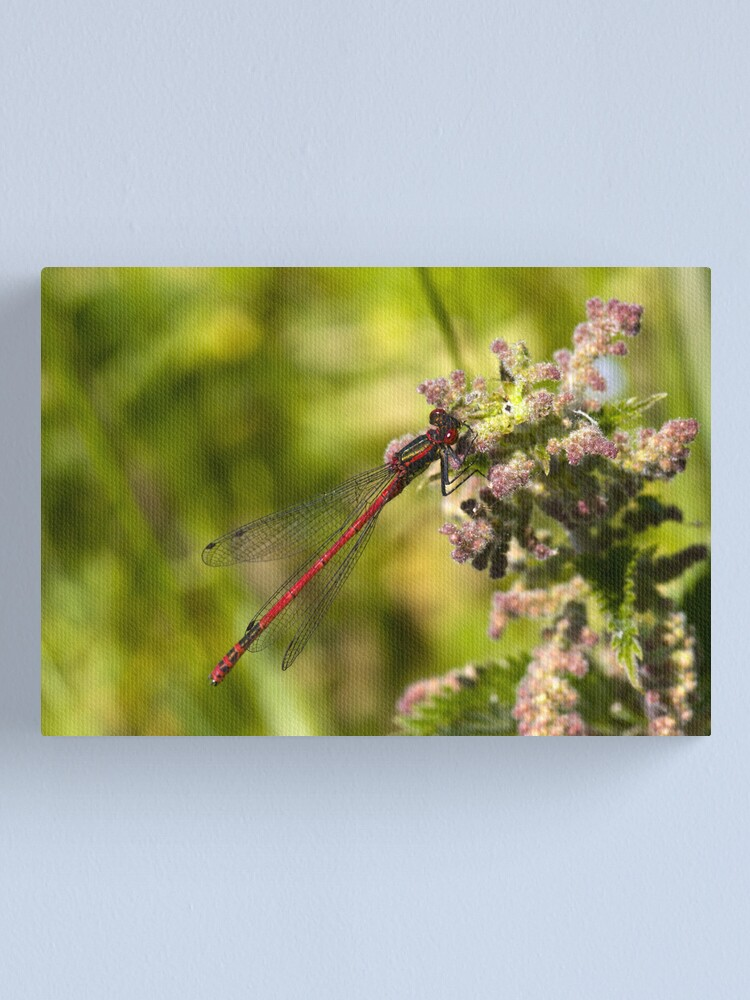 Alternate view of Large Red Damselfly (Pyrrhosoma nymphula) Canvas Print