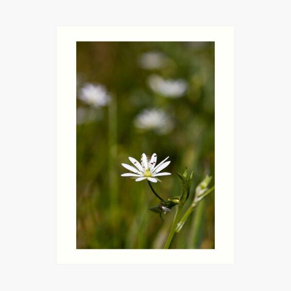 Lesser Stitchwort (Stellaria graminea) Art Print