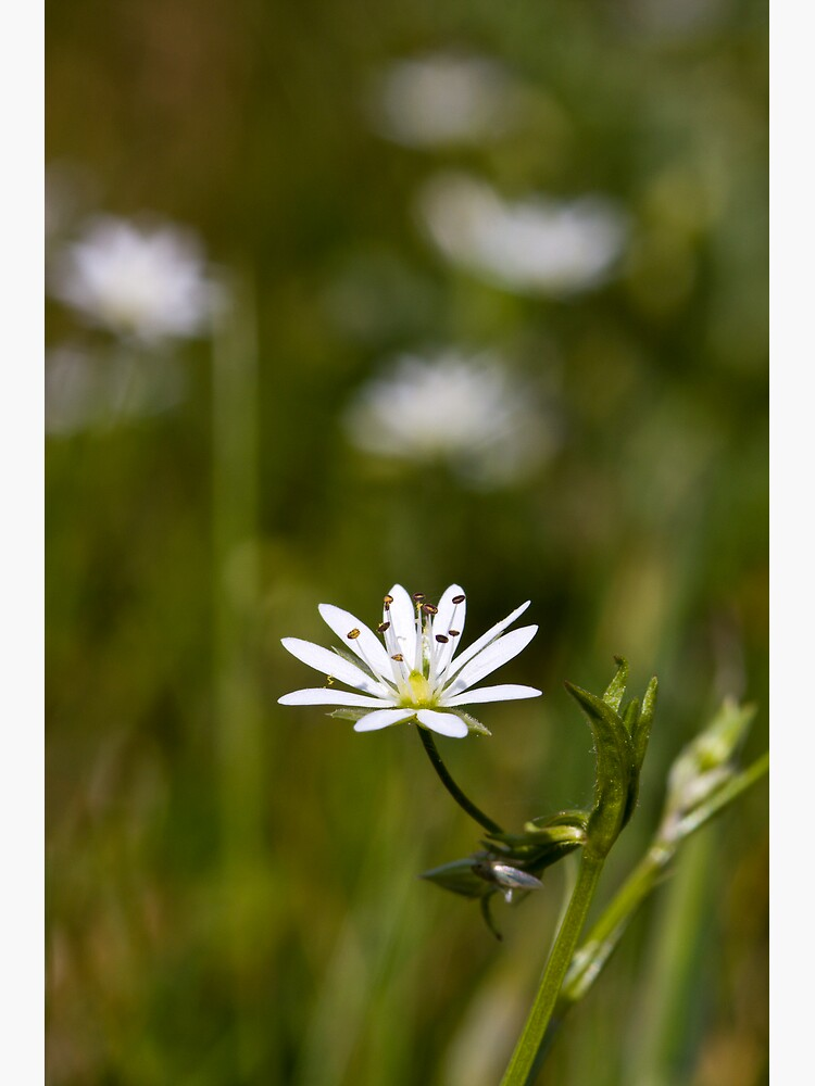 Lesser Stitchwort (Stellaria graminea) by SteveChilton