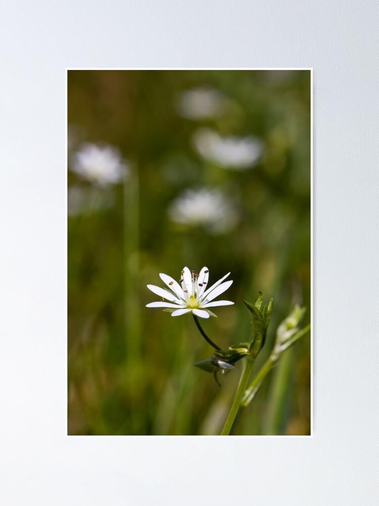 Alternate view of Lesser Stitchwort (Stellaria graminea) Poster