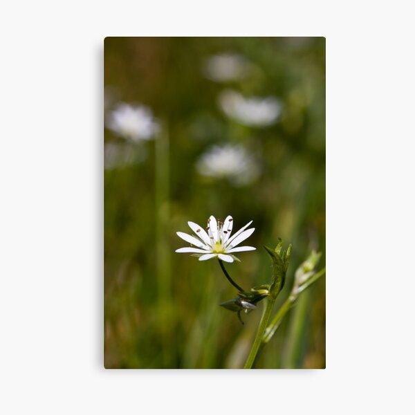 Lesser Stitchwort (Stellaria graminea) Canvas Print