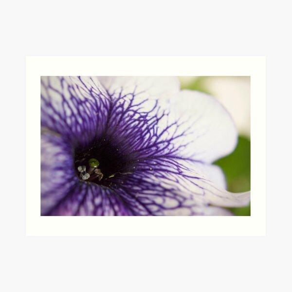 Purple-veined Petunia Art Print