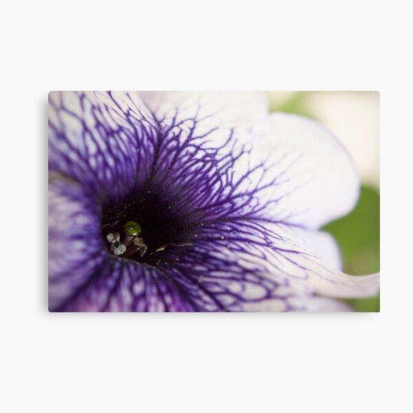 Purple-veined Petunia Metal Print
