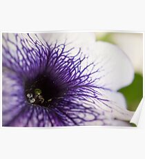Purple-veined Petunia Poster