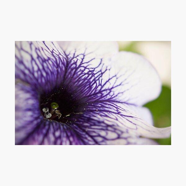 Purple-veined Petunia Photographic Print