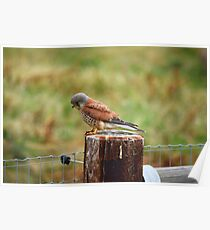 Animals and Wildlife - Hunting Kestrel  Poster