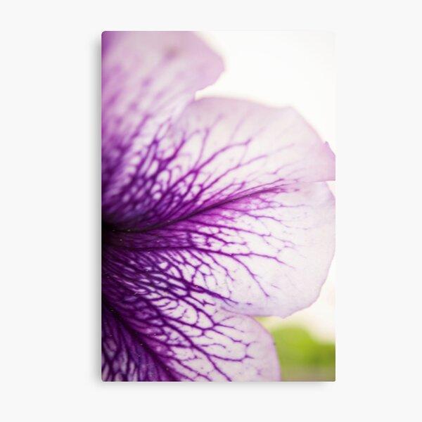 Purple-veined Petunia Petal Metal Print