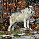 Timber wolf in the Wild by vette