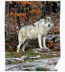 Timber wolf in the Wild Poster