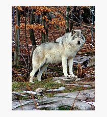 Timber wolf in the Wild Photographic Print
