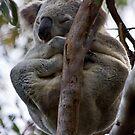 Koala by miroslava