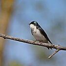 Tree Swallow by hummingbirds