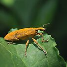 Rhubarb Weevil by David Lamb