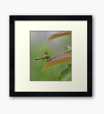 Tiger Looking Dragonfly  Framed Print