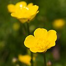 Meadow Buttercup (Ranunculus acris) by Steve Chilton