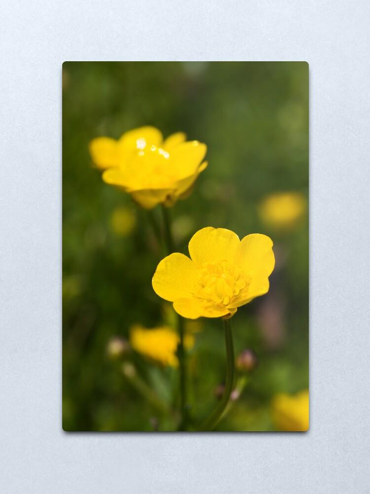 Alternate view of Meadow Buttercup (Ranunculus acris) Metal Print