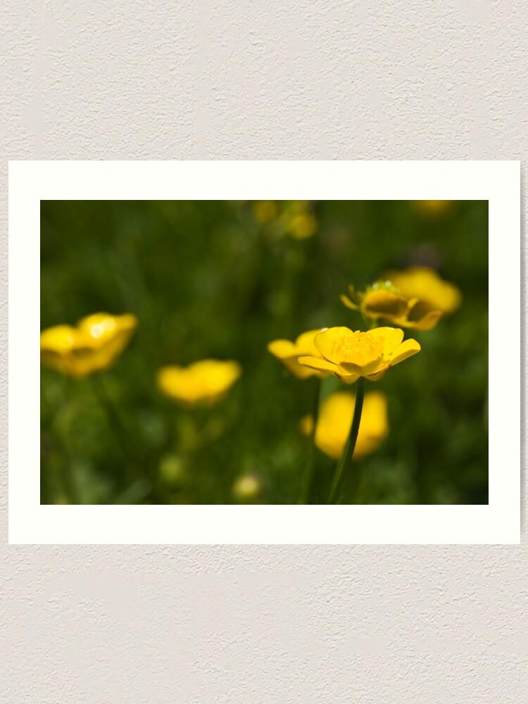 Alternate view of Meadow Buttercup (Ranunculus acris) Art Print