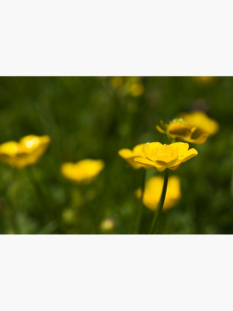 Meadow Buttercup (Ranunculus acris) by SteveChilton