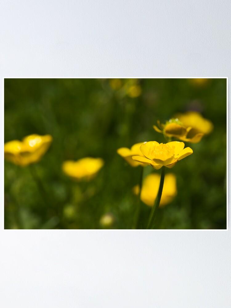 Alternate view of Meadow Buttercup (Ranunculus acris) Poster
