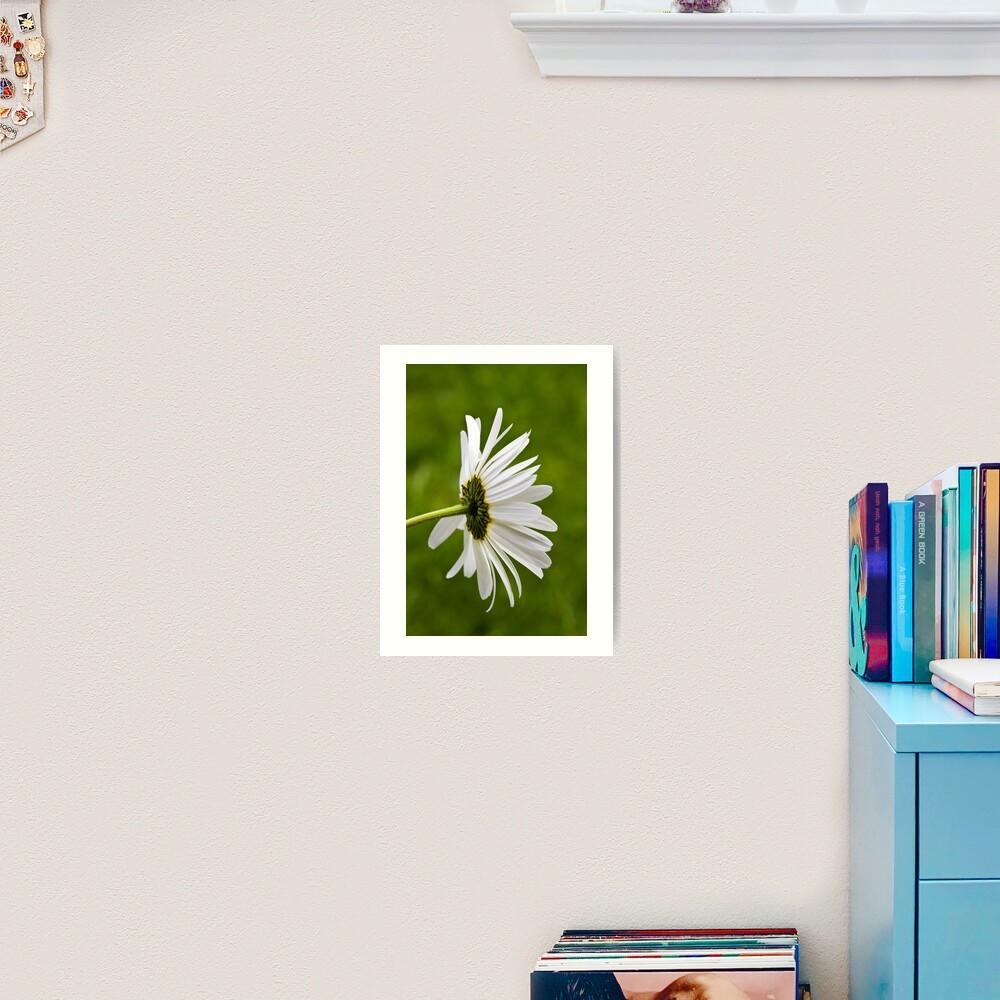 Oxeye Daisy (Leucanthemum vulgare) Art Print