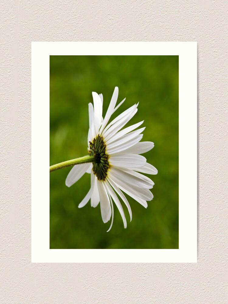 Alternate view of Oxeye Daisy (Leucanthemum vulgare) Art Print