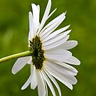 Oxeye Daisy (Leucanthemum vulgare) by Steve Chilton