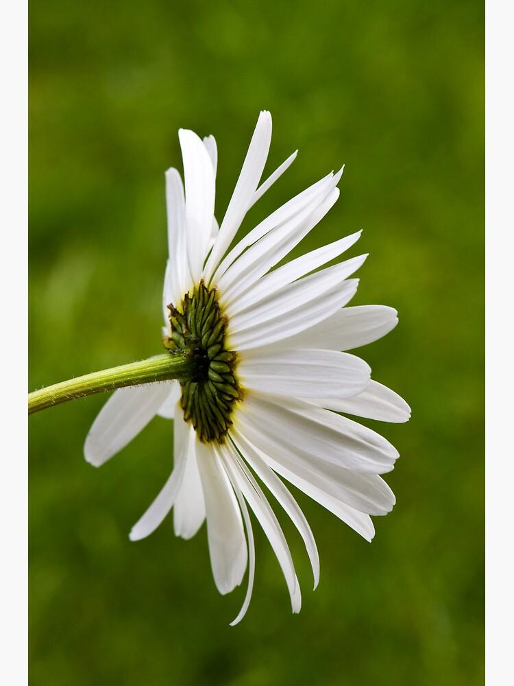 Oxeye Daisy (Leucanthemum vulgare) by SteveChilton