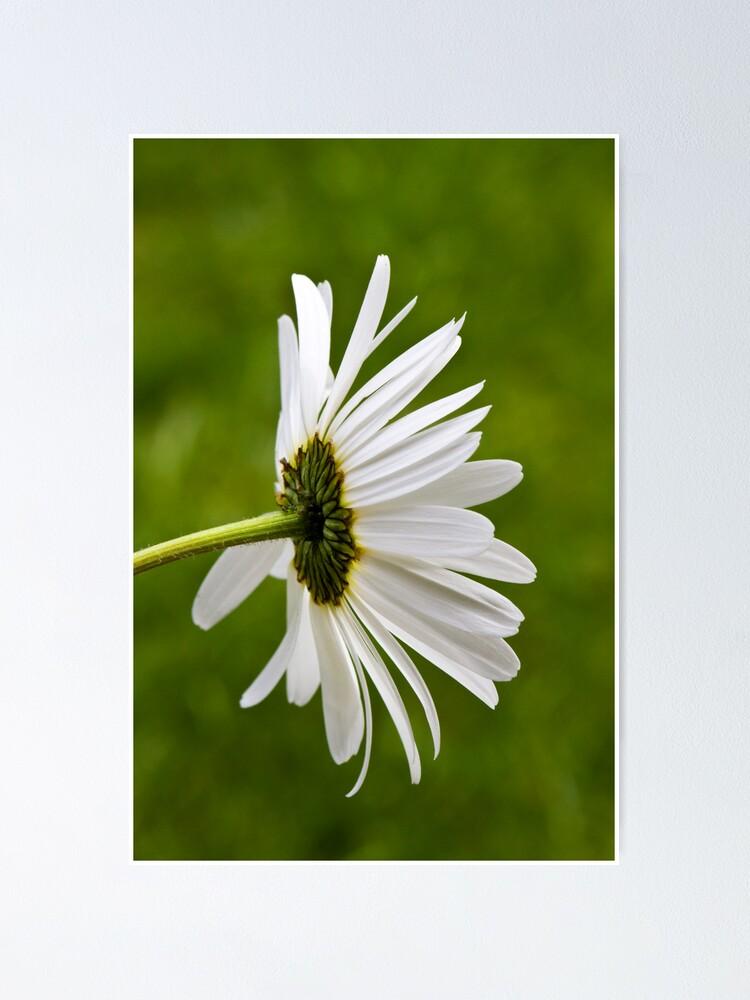 Alternate view of Oxeye Daisy (Leucanthemum vulgare) Poster