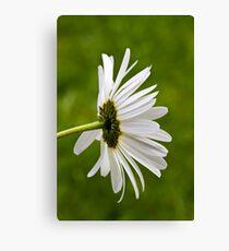 Oxeye Daisy (Leucanthemum vulgare) Canvas Print