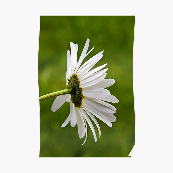 Oxeye Daisy (Leucanthemum vulgare) Poster