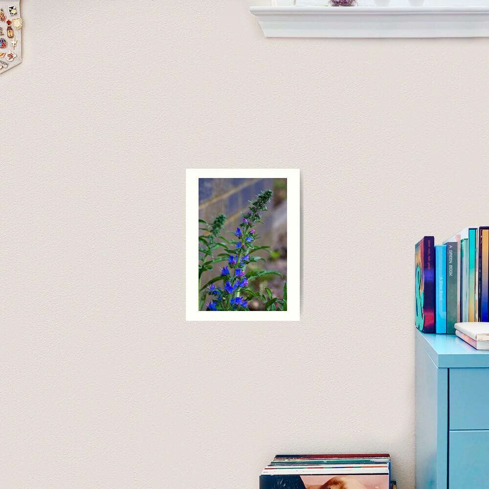 Viper's Bugloss (Echium vulgare) Art Print