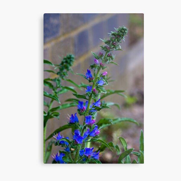 Viper's Bugloss (Echium vulgare) Metal Print