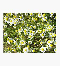 Photo of camomile flowers Photographic Print