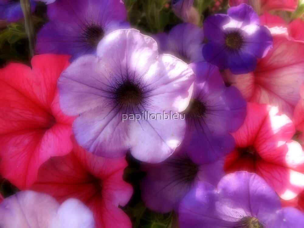 Petunias by Pamela Jayne Smith