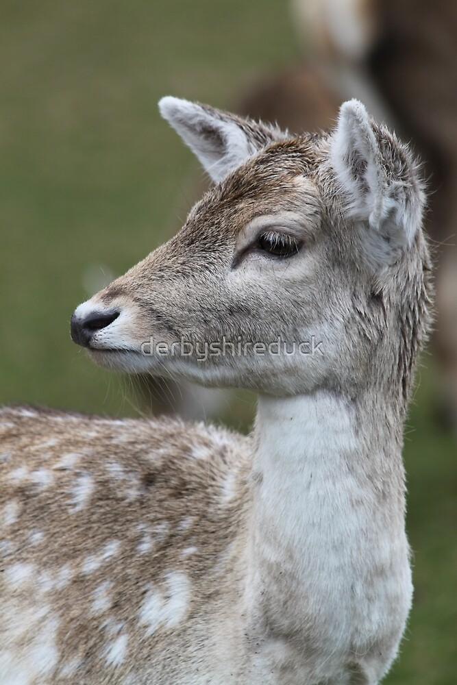 Deer by derbyshireduck