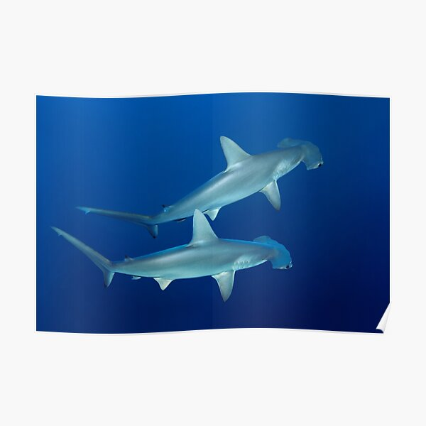 Two Hammerheads Poster