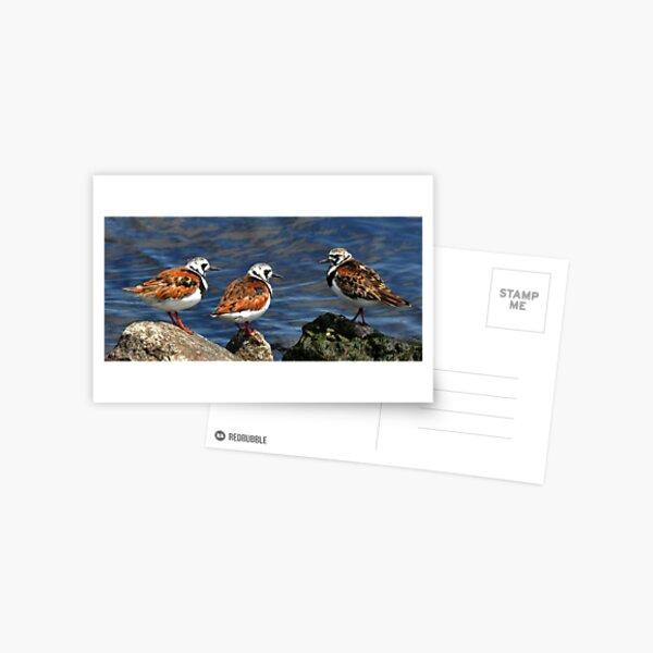 Ruddy Turnstones Postcard