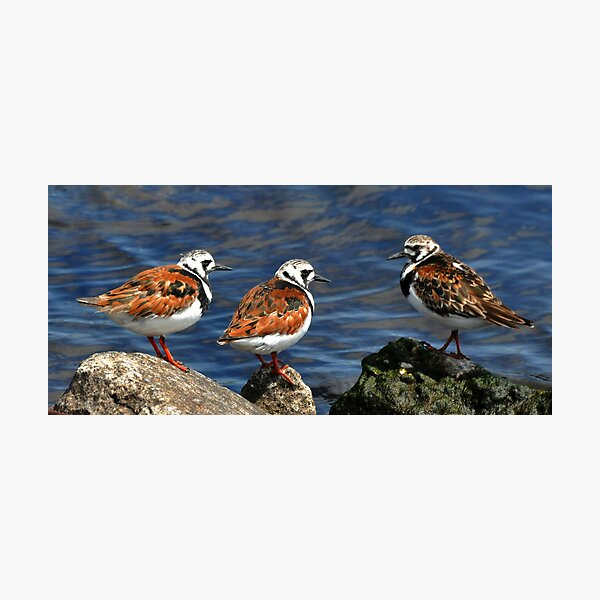 Ruddy Turnstones Photographic Print