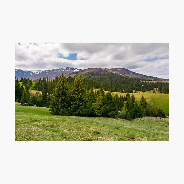spruce trees on grassy hills in Carpathians Photographic Print