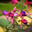 Fairly sure its Fuchsia  by WalnutHill