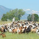 Goatherd herding goat herd in field below Rocky Mountains by Merrimon