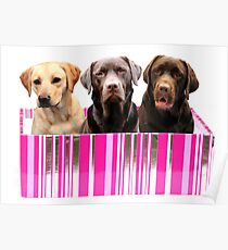 Labradors in a box Poster