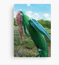 Home Grown Corn! Canvas Print