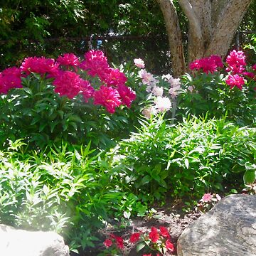 Peonies in our garden by Shulie1