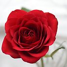 Red Rose by Sarmorrow